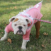 Xena, a bulldog puppy owned by Stephanie Clark, prances around the Garfield County Court House lawn in her pink dinosaur costume during Scare on the Square Saturday. (Staff Photo by BONNIE VCULEK)
