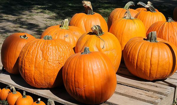 Pumpkins await purchase at Christ United Methodist Church's Pumpkin Patch Wednesday. (Staff Photo by BONNIE VCULEK)