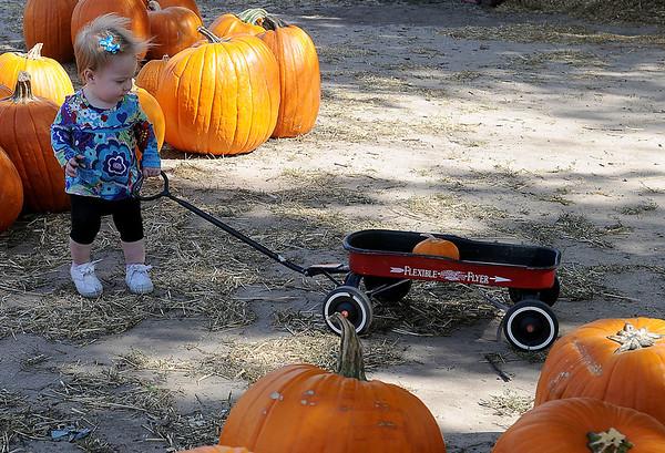 Chesney Wolever pulls her Flexible Flyer  through large pumpkins Thursday at Christ United Methodist Church's Pumpkin Patch. (Staff Photo by BONNIE VCULEK)
