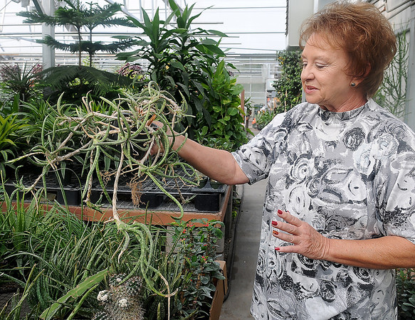 Connie Smith, owner of Plants-a-Plenty, holds a cactus Friday that she will donate to Virgil Nimrod at Midwest Cactus. Nimrod's business in Covington was devastated during an arson fire in July. (Staff Photo by BONNIE VCULEK)