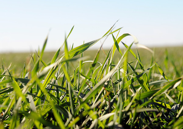 Blades of young wheat plants wave in the wind Tuesday near Enid. (Staff Photo by BONNIE VCULEK)