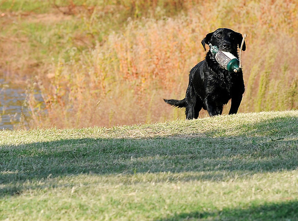 Koal, HRch Nick of Time Koal QAA MH Labrador retriever owned by Richard Mills, returns a bird during the Super Retriever Trial Series 1 at the Sportsman's Ranch in Hillsdale, Okla. Thursday, Oct. 5, 2013. (Staff Photo by BONNIE VCULEK)