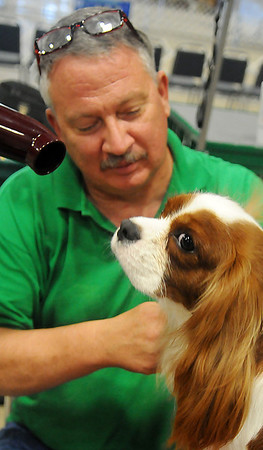 Gus, a 3-year-old Cavalier King Charles Spaniel, sits patiently as Max Spears grooms the Blenheim male for the Sooner State Kennel Club Show ring at the Chisholm Trail Coliseum Friday, Oct. 11, 2013. The annual dog show draws close to 1,000 entries in confirmation and obedience. (Staff Photo by BONNIE VCULEK)
