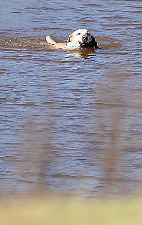Clint Johnson's HRCH The Boss' Good Karma MH QAA retrieves a bird during the Super Retriever Trial Series at the Sportsman's Ranch in Hillsdale, Okla. Thursday, Oct. 3, 2013. (Staff Photo by BONNIE VCULEK)