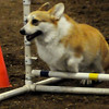 Cher, a Welsh Corgi owned by Bob Portiss from Claremore, leaps an obedience jump during the Sooner State Kennel Club dog show at the Chisholm Trail Pavilion Saturday, Oct. 12, 2013. (Staff Photo by BONNIE VCULEK)