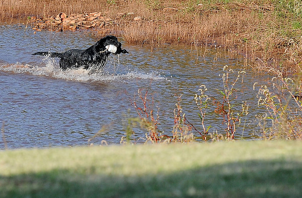Koal, HRch Nick of Time Koal QAA MH Labrador retriever owned by Richard Mills, returns a bird during the Super Retriever Trial Series 1 at the Sportsman's Ranch in Hillsdale, Okla. Thursday, Oct. 3, 2013. (Staff Photo by BONNIE VCULEK)