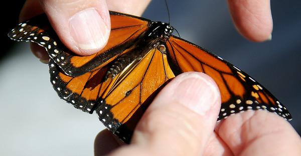 Tagging Monarchs (Staff Photo by BONNIE VCULEK)