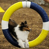 An obedience dog leaps through a suspended ring as its owner gives a command during competition at the Sooner State Kennel Club dog show at the Chisholm Trail Pavilion Saturday, Oct. 12, 2013. (Staff Photo by BONNIE VCULEK)