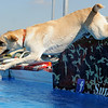 Ruger, an 18-month old yellow lab owned by Tammy Smoot, leaps into the Super Retriever Series Super Dock during the fun jump at Oakwood Mall Friday, Oct. 4, 2013. (Staff Photo by BONNIE VCULEK)