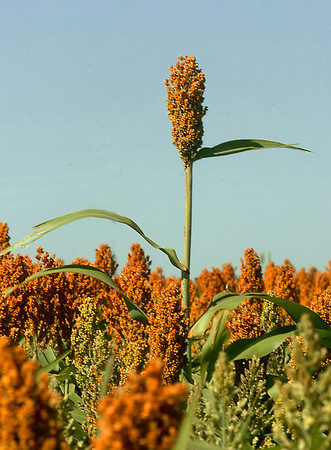 A stock of milo stand above the rest in a field along north 78th street.(Staff Photo by BILLY HEFTON)