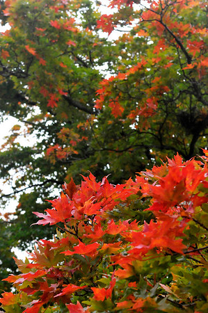 Leaves turning autumn red at Meadowlake Park Monday , the fruits of a rain filled summer. (Staff Photo by BILLY HEFTON)
