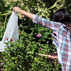 Gabie Hayes-Mungia nets a Monarch butterfly during Monarch Watch with Kansas University at Dillingham Gardens Tuesday, Oct. 1, 2013. Monarchs were netted, identified by gender, tagged, and released during Monarch Watch for Kansas University. (Staff Photo by BONNIE VCULEK)