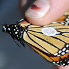 Tagging Monarchs (Staff Photo by BONNIE VCULEK)