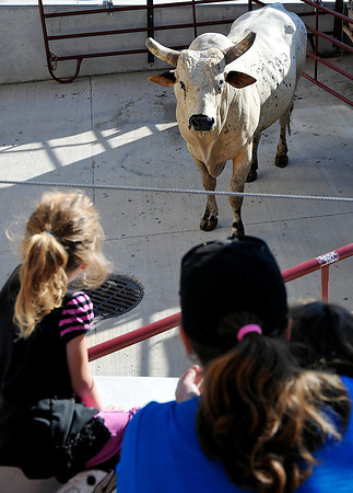 "Cheyenne Bower, Angela Smith and Abigail Smith get a close look at ""Strokin"" Thursday at the Enid Event Center. The bull was brought to Enid to promote the PBR Challenge too be held at the Enid Event Center next month. (Staff Photo by BILLY HEFTON)"