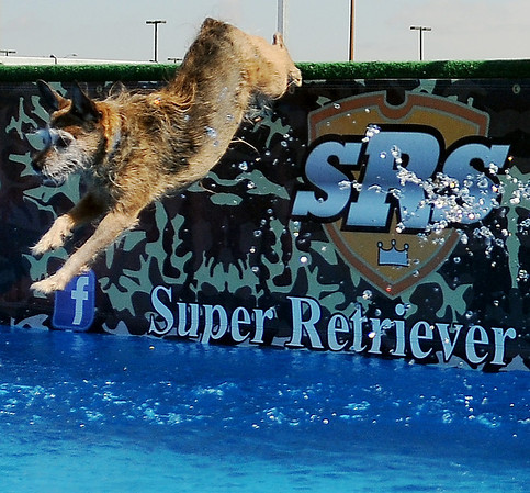 Buster, a 10-year-old Carrin Terrier/Jack Russell mix owned by Judy Mason, leaps from the Super Retriever Series Dock Friday, Oct. 4, 2013. (Staff Photo by BONNIE VCULEK)