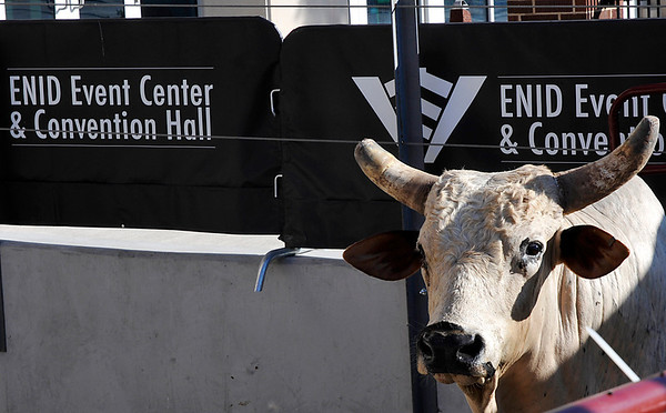 """Strokin"", an American bucking bull was in Enid Thursday to promote the PBR Challenge too be held at the Enid Event Center next month. (Staff Photo by BILLY HEFTON)"