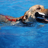 Ruger, an 18-month old yellow lab owned by Tammy Smoot, retrieves a toy from the Super Retriever Series Super Dock during fun jumps at Oakwood Mall Friday, Oct. 4, 2013. (Staff Photo by BONNIE VCULEK)