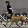 Handler, Lauren Mcllwraith, takes Tsavo, a South Africian boerboel, through the paces in the show ring during the Sooner State Kennel Club Dog Show at the Chisholm Trail Expo Center Saturday October 14, 2017. (Billy Hefton / Enid News & Eagle)