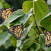 A trio of Monarch butterflies cling to leaves during a rain shower Thursday October 5, 2017. (Billy Hefton / Enid News & Eagle)