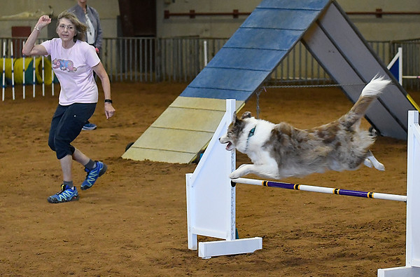 Ned keeps an eye on Ginny Martin as he clears a jump during an agility competition in the Sooner State Kennel Club Dog Show Friday October 13, 2017 at the Chisholm Trail Expo Center. (Billy Hefton / Enid News & Eagle)