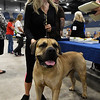 Ann Cress stands with her South Africian boerboel, Tsavo, at the Sooner State Kennel Club Dog Show at the Chisholm Trail Expo Center Saturday October 14, 2017. (Billy Hefton / Enid News & Eagle)