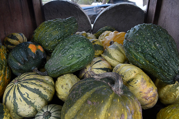 Gourds at Otto Farm west of Ringwood on U.S 412 Monday October 15, 2018. (Billy Hefton / Enid News & Eagle)
