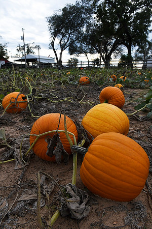 Pumpkins grow in a patch at Otto Farm west of Ringwood on U.S 412 Monday October 15, 2018. (Billy Hefton / Enid News & Eagle)