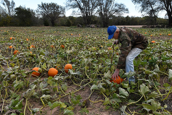 Otto Hildebrand bends down to check a pumpkin at this farm west of Ringwood on U.S 412 Monday October 15, 2018. (Billy Hefton / Enid News & Eagle)