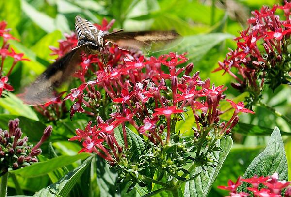 Hummingbird Moth (Staff Photo by BONNIE VCULEK)