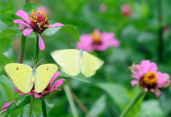 A butterfly lands as another moves to a different flower at Dillingham Gardens Tuesday, Sept. 17, 2013. (Staff Photo by BONNIE VCULEK)