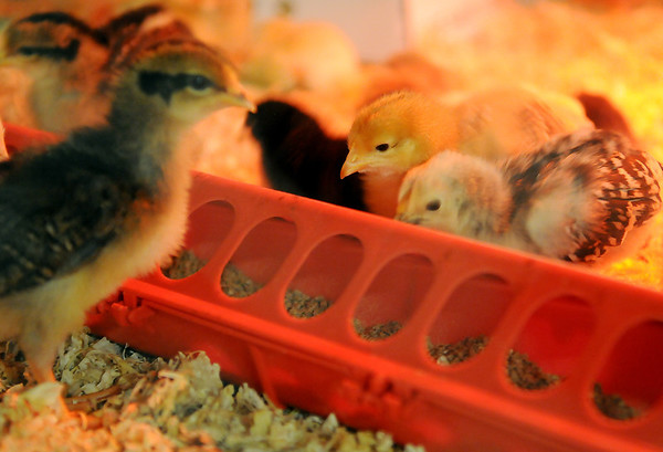 """Baby chicks thrive inside their coop at the Garfield County Free Fair """"Farmer for a Day"""" exhibit Saturday, Sept. 7, 2013. (Staff Photo by BONNIE VCULEK)"""
