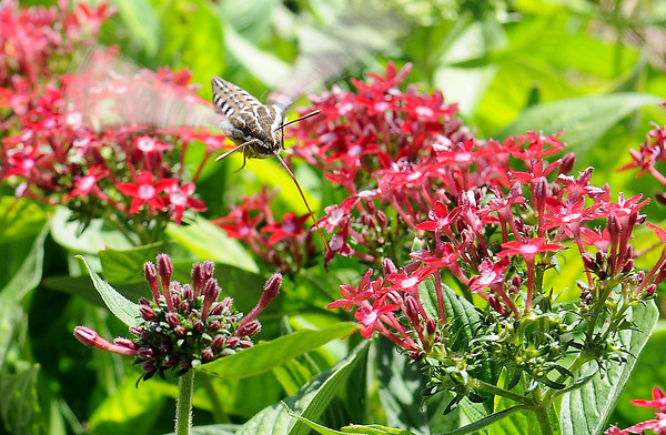 A hummingbird moth moves from bloom to bloom near the entrance to David Grissett's State Farm Insurance office Wednesday, Sept. 25, 2013. (Staff Photo by BONNIE VCULEK) (Staff Photo by BONNIE VCULEK)