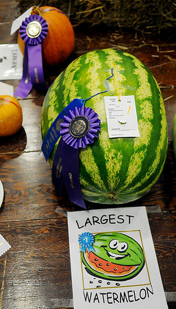 The largest watermelon, exhibited by William Patocka, sports a first place and grand champion ribbon at the Garfield County Free Fair Saturday, Sept. 7, 2013. (Staff Photo by BONNIE VCULEK)