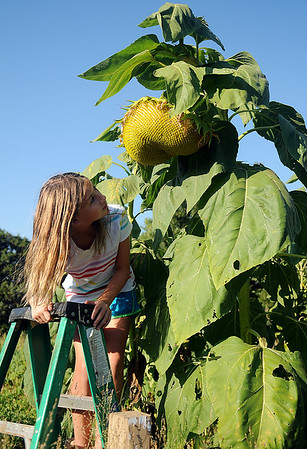 Gracie Nunez climbs an 8-foot ladder and glances up at one of the giant sunflowers that she and her brother, Harry, raised from seeds for the Garfield County Fair. The flower entries had to be submitted for judging by 11:00 a.m. Thursday, Sept. 5, 2013. (Staff Photo by BONNIE VCULEK)