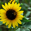 A bee gathers pollen from a roadside sunflower along east Robertson Monday. (Staff Photo by BILLY HEFTON)