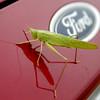 A katydid checks out its reflection on a car Saturday, Sept. 6, 2014. (Staff Photo by BONNIE VCULEK)