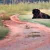 Wayward Bison