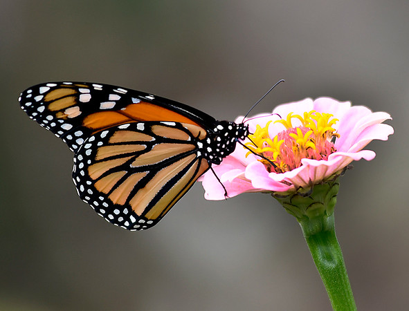 A Monarch butterfly collects pollen from a flower at Dillingham Garden Tuesday September 12, 2017. (Billy Hefton / Enid News & Eagle)