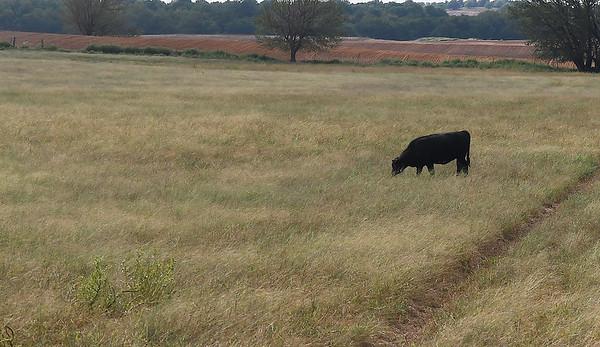 A calf grazes a field at TLC Grassfed Beef Farm south of Meno Thursday September 13, 2018. (Billy Hefton / Enid News & Eagle)