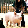 Garfield County Fair Swine Show