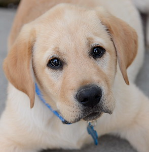 10-week-old yellow lab Enloe makes friends with his new family,  Jeff, Traci and Garrett Hunt at their Durham, Calif. home Tues. April 4, 2017. Enloe will be trained by Dina Zaphiris, founder & CEO, InSitu Foundation as a cancer finding dog. (Bill Husa -- Enterprise-Record)