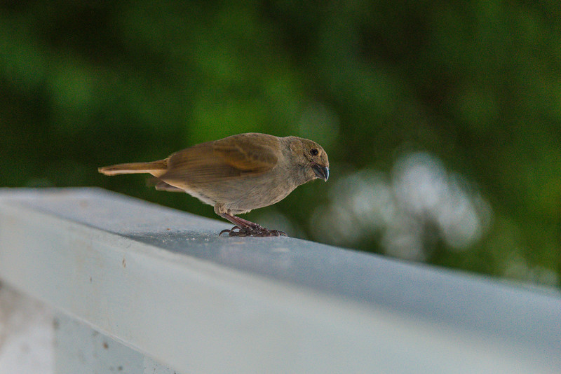 2015-01 Barbados Trip_0220 Bird Pirched on our Room Veranda