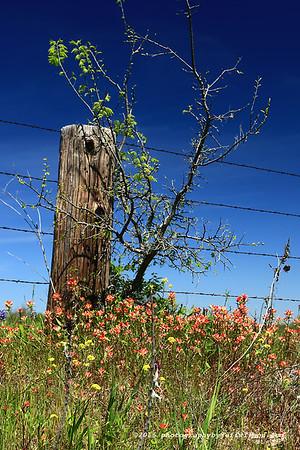 Ennis Bluebonnet Trails April 5, 2016