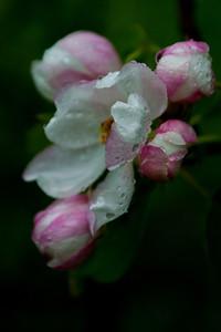Omenan kukka - Flower of the apple