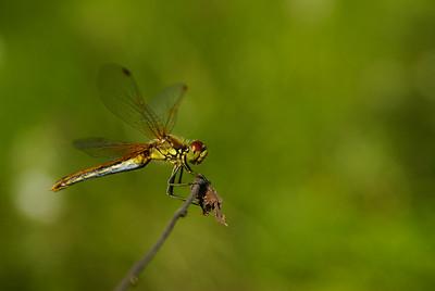 Yellow-winged darter - Elokorento - Sympetrum flaveolum. Eno, 2007. Naaras - female