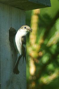 Kirjosieppo - European Pied Flycatcher - Ficedula hypoleuca