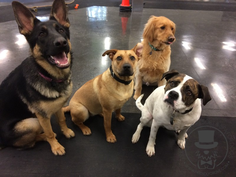 Enriched daycare pups working on sit and focus today