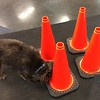 Bosco is working on finding which cone the treat is under
