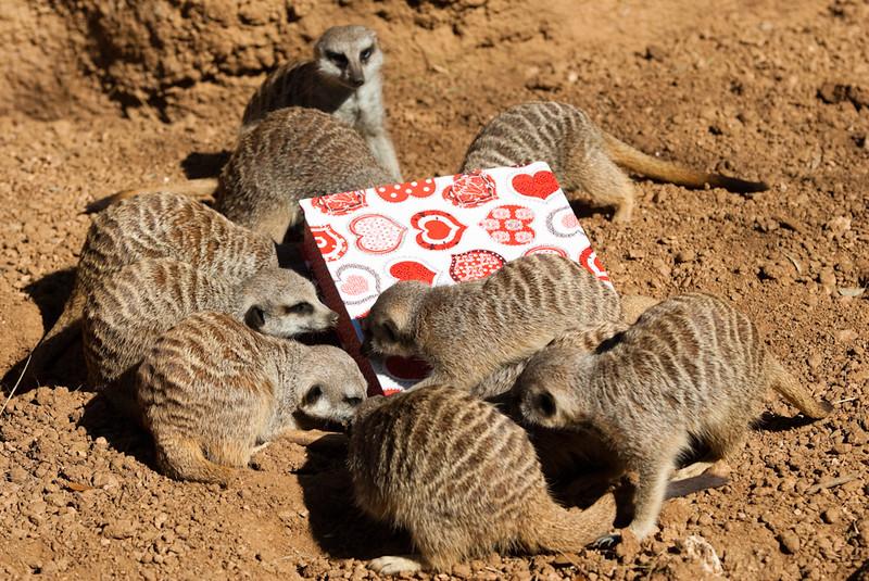 2010-Meerkats get Valentine's Day Treats