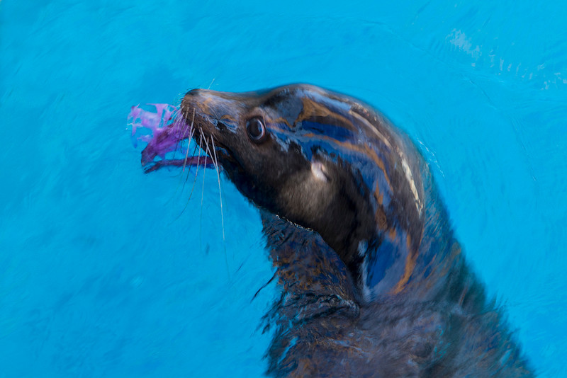 Sea Lions get Valentine's Day treats - 2014